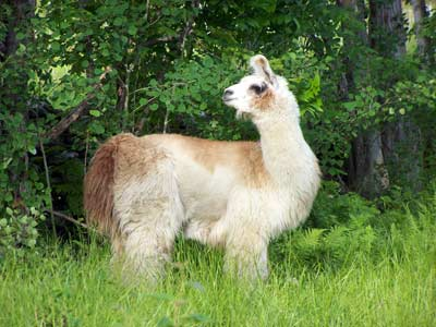 Llama at Blue Frog Farm