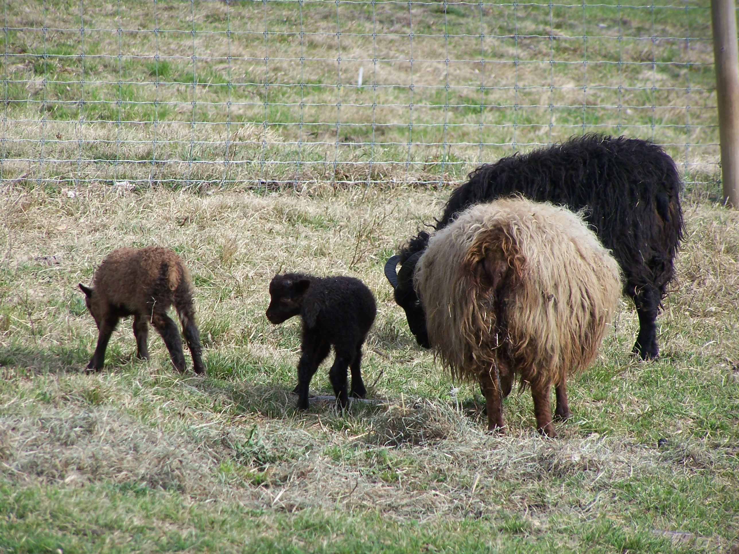 Icelandic Ewe with Twin Lambs