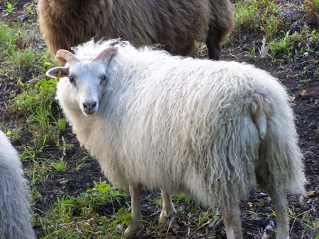 Kind Horn Farm ewe lamb 206X